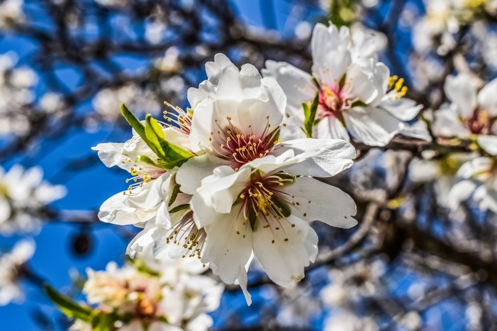 almond-tree-flowers