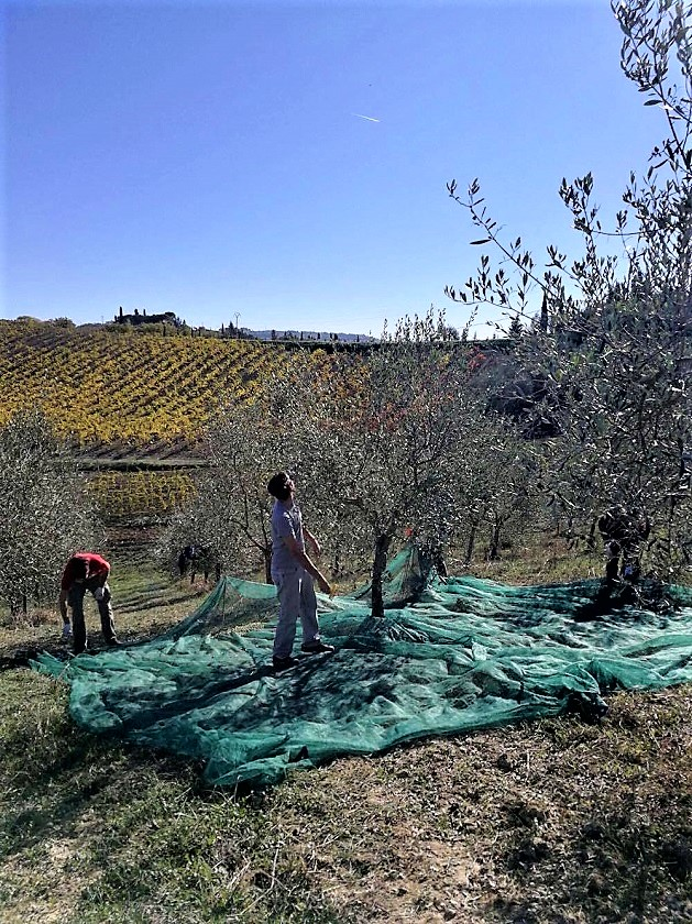 tuscan-olive-harvest-view
